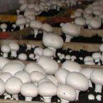 افزایش قربانیان مصرف قارچ به ۱۵ نفر